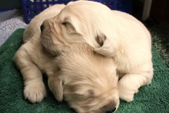 Snuggling Puppies Stock Photos