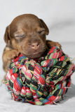 Snuggling puppy Royalty Free Stock Photo