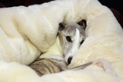 Snuggly whippet. A whippet snuggling into a luxury feux fur pet bed Royalty Free Stock Image