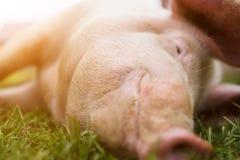 Snuit en neus van een roze varken op het gras in volledig kader stock afbeeldingen