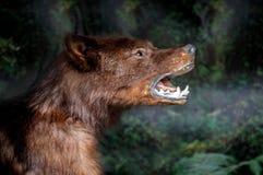 Snuit het wolfsclose-up Enge wilde dierlijke dichte omhooggaand Wolf Eyes en tanden Vogelverschrikkerdier royalty-vrije stock foto