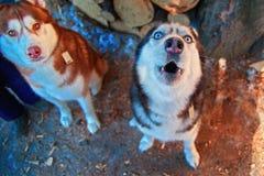 Snuit huilende hond Siberisch Schor gehuil met zijn omhoog hoofd Zwart-witte Schor hond met blauwe ogen Hoogste mening royalty-vrije stock afbeeldingen