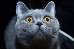 Snuit van Britse grijze kat stock fotografie