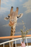 Snuit van een giraf op een lange hals Royalty-vrije Stock Foto's