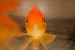 Snuit van een goudvis Royalty-vrije Stock Afbeelding