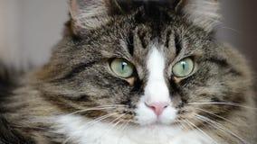 Snuit van een kattenclose-up stock videobeelden