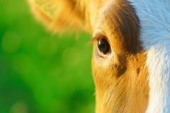 Snuit van een koe in natuurlijk milieu Stock Foto