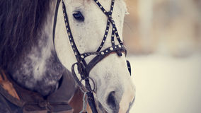 Snuit van een wit paard in een uitrusting Stock Fotografie
