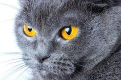 Snuit van grijze Britse dichte omhooggaand van de shorthairkat stock fotografie