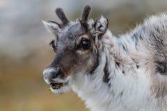 Snuit van jong Spitsbergen-rendier met gras in mond royalty-vrije stock foto's