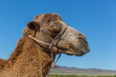 Snuit van kameel Royalty-vrije Stock Afbeelding