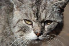 Snuit van kat Leuke snuit van grijze kattenclose-up royalty-vrije stock foto's