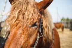Snuit van rode krullende paard dichte omhooggaand Paardogen stock foto