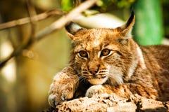 De lynx van de lynx Stock Afbeelding