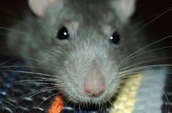 Snuit van zilveren rat Stock Foto