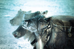 Snuitrendier in vorst Yamal Ondiepe Diepte van Gebied Royalty-vrije Stock Foto's
