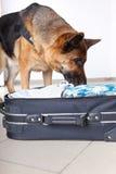 Snuivende hond chceking bagage Stock Foto