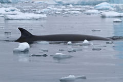 Snurrande och Minke fenaval som ytbehandlade i Antarktis Arkivfoton