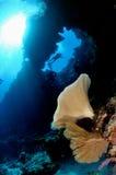 Snylta Ianthella och havsfanen Acabaria i Banda, Indonesien det undervattens- fotoet Royaltyfria Foton