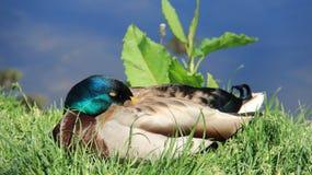 Soñoliento y tomando el sol un pato silvestre masculino fotografía de archivo libre de regalías
