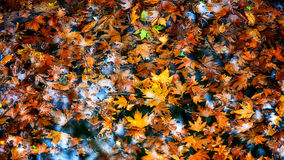 Soaked autumn leaves. Fallen plain tree leaves soaked in water Stock Photos