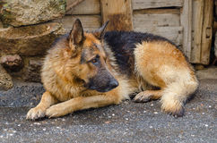 Soaked dog. Sorrowful german shepherd lying in the ground after the rain Stock Photos