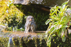 Soaked house sparrow Royalty Free Stock Images