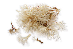 Soaked irish moss Royalty Free Stock Photos