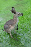 Soaked Kangaroo With Barely Visible Feet. Kangaroo standing on flooded meadow, its feet are barely visible. Captured in Queensland during Australias wettest year Stock Images