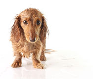 Soaked puppy Royalty Free Stock Photo