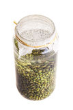 Soaked Sprouting Seeds (green Lentils) Stock Photography