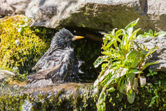 Soaked starling Royalty Free Stock Photography