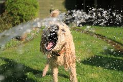 Soaked Wet Long-coated Dog Opens Mouth at Water Streams on Green Grass Royalty Free Stock Photography