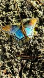 Soaking in the sun. Blue and orange butterfly sitting in the sun Royalty Free Stock Photography