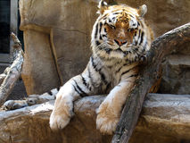 Soaking up the sun. This image was captured at the Henry Doorly Zoo Cat Complex.  The Henry Doorly Zoo is in Omaha, NE Royalty Free Stock Image