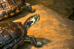 Soaking up water turtle on a wet stone Royalty Free Stock Image