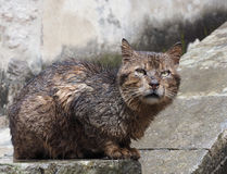 Soaking Wet Alley Cat , Kotor, Montenegro Royalty Free Stock Photography