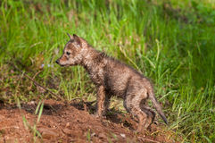Soaking Wet Coyote Pup (Canis latrans) at Densite Royalty Free Stock Photos