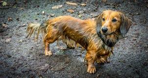 soaking wet dachshund dog royalty free stock image