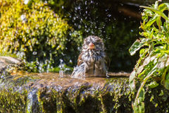 Soaking wet house sparrow Stock Photo