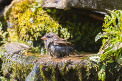 Soaking wet house sparrow Royalty Free Stock Photos