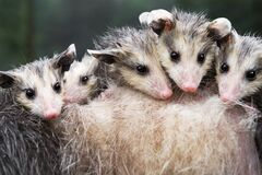 Free Soaking Wet Opossum Joeys Didelphimorphia Look Out From Atop Mothers Back Summer Stock Photos - 197822633