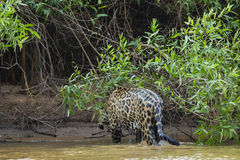 Soaking Wet Wild Jaguar Walking Out of River into Jungle Royalty Free Stock Image