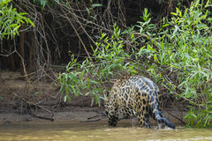 Soaking Wet Wild Jaguar Walking Out of River into Jungle Stock Photo