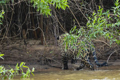 Dripping Wet Wild Jaguar Walking Out of River into Jungle Royalty Free Stock Photography