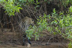 Soaking Wet Wild Jaguar Walking Out of River into Jungle Stock Image