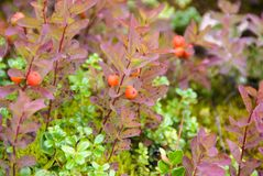 Soap berry bush with orange berries and pink and green leaves along trail in Alaska. Soap berry bush with orange berries and pink and green leaves along trail to stock photography