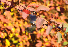 A soap bubble on a branch with red leaves beautifully shimmers in the sun. A soap bubble on the branch with red leaves beautifully shimmers in the sun royalty free stock photography