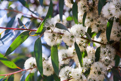 Soap mallee  plant  in spring Royalty Free Stock Image