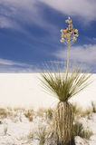 Soap tree yucca Stock Images